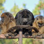 Volunteer Experience: Carayá Monkey Reserve