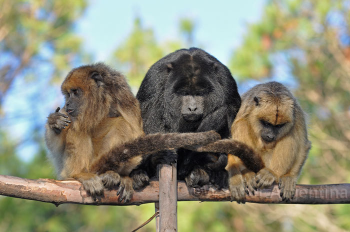 A group of monkeys at the Carayá Monkey Reserve in Cordoba, Argentina